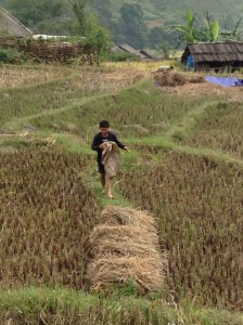 Farmer doing his daily chores in the rice fields