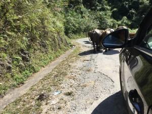 Buffalo jam on the Mau Son road