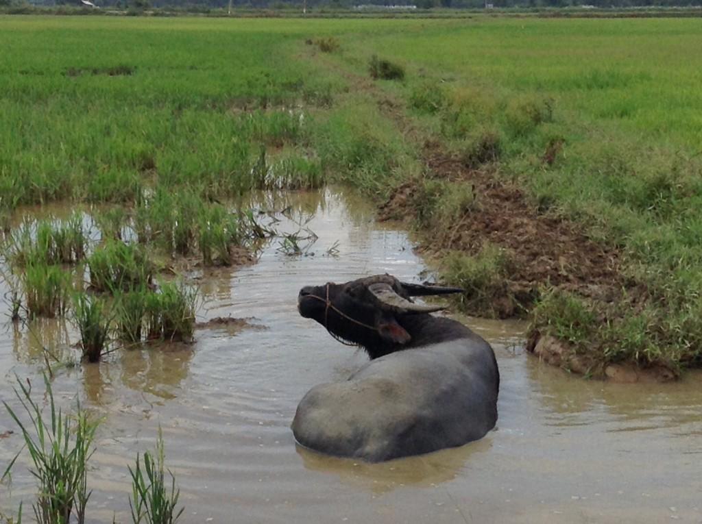 A water buffalo taking a bath!