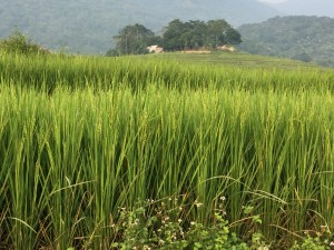 Before the harvest in the rice fields.