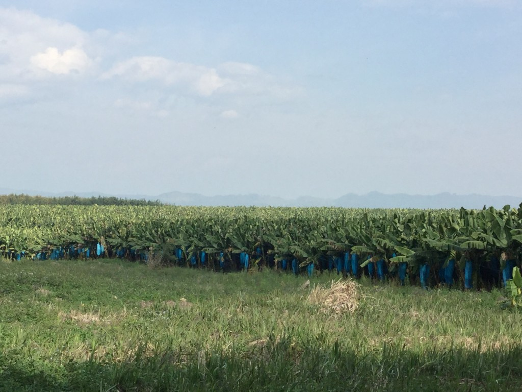 Banana plantation in the hills above Mung Sing. These will likely be exported to China.