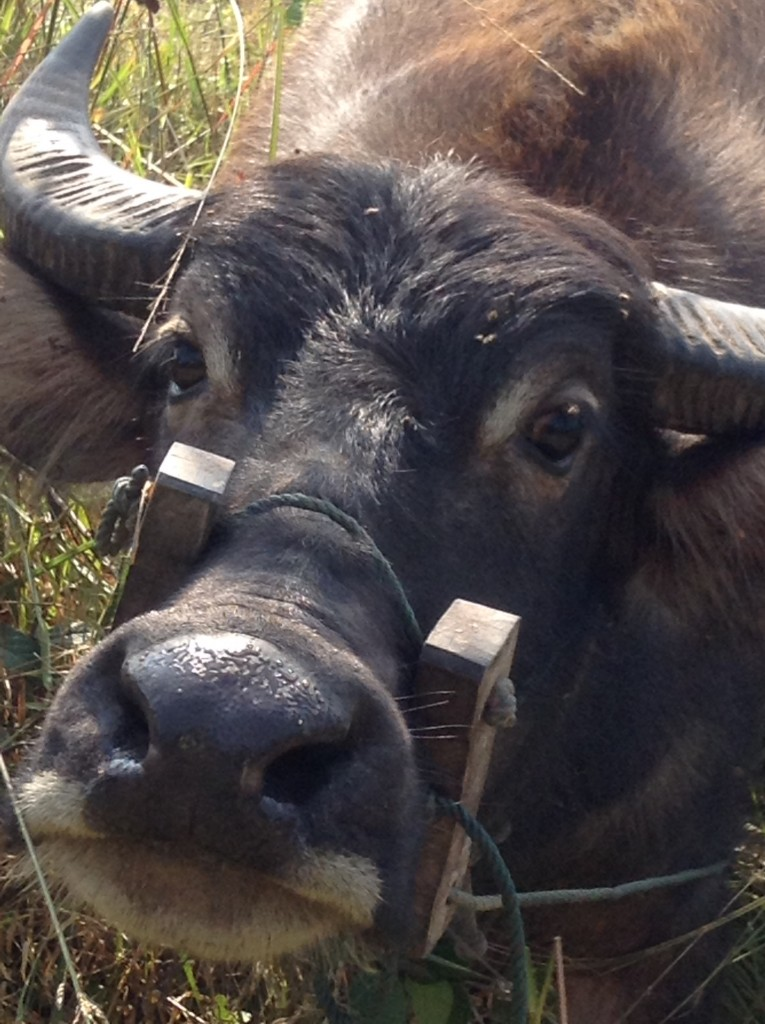A sweet face to the folks around here. The buffalo is a treasured helper on the rice farm.