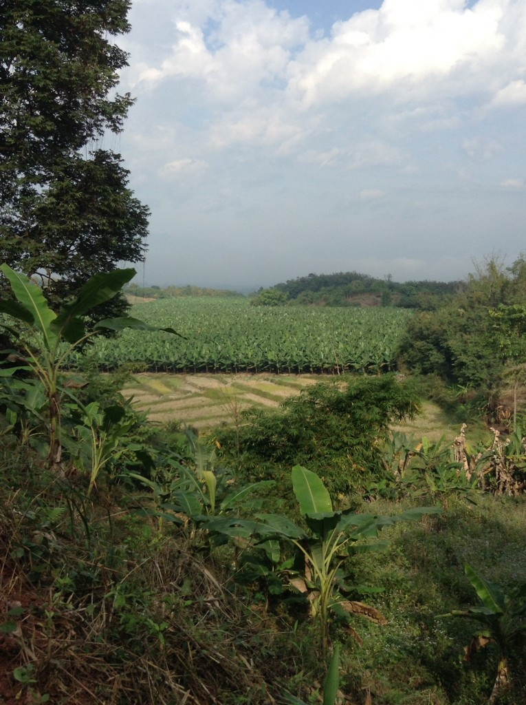 Rice paddies in the dry season with sugarcane planted behind it.